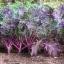 ผักคะน้าเคลสีแดง - Red Russian Kale thumbnail 1