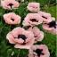 ดอกป็อปปี้โอเรียนเต็ล คละสี - Oriental Poppy Flower Mix thumbnail 4