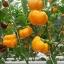 พริกฟักทองสีเหลือง - Yellow Pumpkin Pepper thumbnail 4