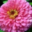ชุดรวมดอกบานชื่น 6 สี - Zinnia 6 in 1 thumbnail 4
