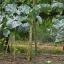 คะน้าต้นสูง - Portuguesa Kale Tree thumbnail 3