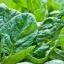 สปินิส เอวอน - Avon Spinach F1 thumbnail 2