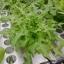 ผัดสลัดใบโอ้ค - Oak Leaf Lettuce thumbnail 3