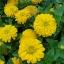 ดอกบานชื่นสีเหลือง - Mixed Yellow Zinnia Flower thumbnail 3