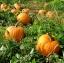 ฟักทองแมมมอธ - Mammoth Gold Pumpkin thumbnail 2