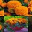 ดาวเรืองอเมริกันสีส้ม 10เมล็ด/ชุด thumbnail 1