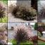 หญ้าเพอร์เพิล ฟาวเทน ซองละ 10 เมล็ด thumbnail 1