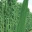 ถั่วฝักยาวใส้ตัน - Green Long Cowpea thumbnail 2