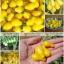 มะเขือเทศลูกแพรสีเหลือง - Yellow Pear Tomato thumbnail 2