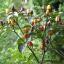 พริกประดับ โบลีเวียนเรนโบว์ - Bolivian Rainbow thumbnail 1