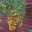 มะเขือเทศทรัมบลิ้งทอม เหลือง - YELLOW TUMBLING TOM TOMATO thumbnail 2