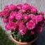 ดอกแอสเตอร์ มิเลดี้ โรส 10เมล็ด/ชุด thumbnail 1