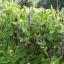 ถั่วลันเตาสีม่วง - Purple Sugar Pea thumbnail 3
