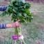 หัวเทอร์นิพ - Purple Top White Globe Turnip thumbnail 3