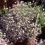 ดอกยิมโซ สีชมพู - Pink Gypsophila thumbnail 3
