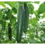 แตงกวา เทเลกราฟ - Telegraph Cucumber thumbnail 3