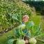 กะหล่ำปมยักษ์เขียว - Giant Green Kohlrabi thumbnail 1