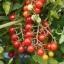 มะเขือเทศแคนดี้แลนด์ - Candyland Red Tomato F1 thumbnail 3
