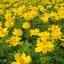ดาวกระจายสีเหลือง - Yellow Cosmos Flower thumbnail 3