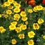(Whole 1 Oz) ดาวเรือง มารีเอตต้า - Marietta Marigold Flower thumbnail 1