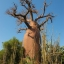 ต้นไม้ยักษ์(เบาบับ)พันธุ์ซ่า - Adansonia Za Baobab thumbnail 3
