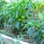 พริกหวานจิ๋ว สีเหลือง - Yellow Miniature Sweet Pepper thumbnail 3