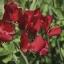 """ดอกสวีทพี สเปนเซอร์""""วินสตัน เชอร์ชิล"""" 5 เมล็ด/ชุด thumbnail 1"""