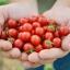 มะเขือเทศแคนดี้แลนด์ - Candyland Red Tomato F1 thumbnail 1