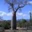 ต้นไม้ยักษ์(เบาบับ)พันธุ์ซ่า - Adansonia Za Baobab thumbnail 6