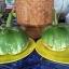 มะเขือเปราะยักษ์กัมพูชา - Cambodian Giant Eggplant thumbnail 3