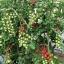 มะเขือเทศหวานสวีทแอพเพอริทิฟ - Sweet Aperitif Tomato F1 thumbnail 4