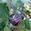 มะเขือม่วงไวโอเลต - Violet eggplant thumbnail 2
