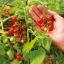 มะเขือเทศ ฮันเรดแอนเทาซัน - Hundred and Thousands Tomato thumbnail 3