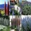 ต้นเอเคี่ยม 15 เมล็ด/ชุด thumbnail 1