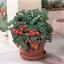 มะเขือเทศปาติโอ้ - Patio Tomato F1 thumbnail 1