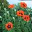 ดอกป็อปปี้โอเรียนเต็ล คละสี - Oriental Poppy Flower Mix thumbnail 3