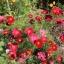 ดาวกระจายแดง - Red Cosmos Flower thumbnail 3