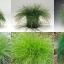 หญ้าประดับ ไฟเบอร์ออฟติก 5 เมล็ด/ชุด thumbnail 1