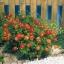 ดอกคอสมอส ซันนี่ เรด (ต้นเตี้ย) 10 เมล็ด/ชุด thumbnail 1