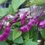ถั่วแปบสีม่วง - Hyacinth bean thumbnail 3