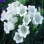 ดอกเบลฟลาวเวอร์ สีขาว 50 เมล็ด/ชุด thumbnail 1