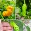 พริกกะจู๋ สีเหลือง - Yellow Peter Pepper thumbnail 2