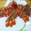 มะเขือเทศ พันธุ์เดทเทอริโน่ - Datterino Tomato thumbnail 1