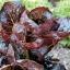 ผัดสลัดแดง เรดโรเมน - Red Romaine Lettuce thumbnail 3