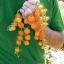 มะเขือเทศโกลเด้นเก็ม - Golden Gem Tomato F1 thumbnail 1