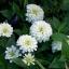ดอกบานชื่นสีขาว - Mixed White Zinnia Flower thumbnail 4