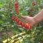 มะเขือเทศ พันธุ์เดทเทอริโน่ - Datterino Tomato thumbnail 2