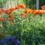 ดอกป็อปปี้โอเรียนเต็ล คละสี - Oriental Poppy Flower Mix thumbnail 5