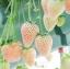 สตรอเบอรี่สีขาว - White Soul Strawberry thumbnail 1
