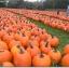(Whole 1 oz) ฟักทองฮาโลวีน พันธุ์คอนเนคติคัท ฟิลด์ - Connecticut Field Pumpkin thumbnail 3